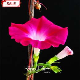 Wholesale Morning Glory Mix - Flower Morning Glory Mix Easy to grow Petunia Garden And Patio Potted Plant Red morning glory Seeds Balcony Petunia 30pcs