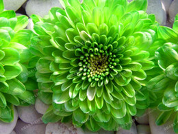 Wholesale Plants Seeds Bulbs - wholesale 2 pcs Green Dahlia Bulbs Flower,(Not Dahlia Seeds),Bonsai Flower Bulbs plant bonsai