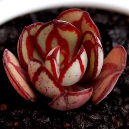 impianto di laminazione Sconti 20 / pezzi più semi di piante di carne piccolo rotolo Juan mini rotolo, i semi di maiale in vaso e fiori verde vegetale ed erba verde per un bell'aspetto