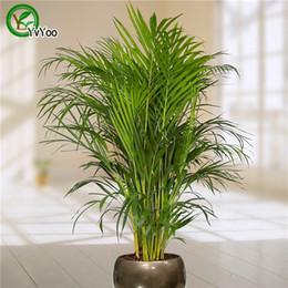 Sementes de árvores de bambu on-line-30 Palm Sementes de bambu, plantas de interior nova chegada DIY Início Jardim Árvore sementes P001