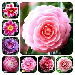 100% Semi di Camelia Reale Semi di fiori in vaso Bonsai Pianta da interno / da esterno 24 colori disponibili 2 pezzi / confezione da