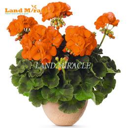 2019 flores impresionantes Semillas de geranio raras, 5 semillas, pelargonium anaranjado claro Planta en maceta perenne interior / exterior Jardín Flores