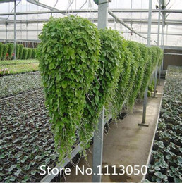 Wholesale Grass Free Lawn - Promotion 100 Dichondra Repens seeds lawn seed money grass hanging decorative garden plants do flower seeds free shipping Novel