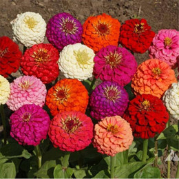 Wholesale Giant Flower Seeds - Giant Double Flower Zinnia 100 Seeds Mix Color California Giants Great for DIY Home Garden or Landscape