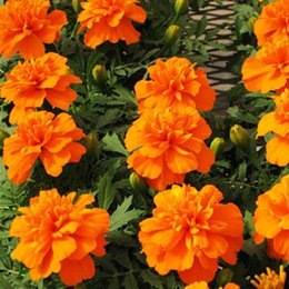 Wholesale French Marigold Flower - FRENCH-MARIGOLD-PETITE-ORANGE-60-seeds-Tagetes-Patula-nana-ANNUAL-FLOWER