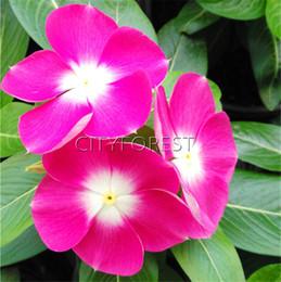 flores tolerantes à seca Desconto Roxo Vermelho Periwinkle Madagascar Flor 100 pcs Sementes Magenta Catharanthus roseus Vinca para o verão Seca Tolerante