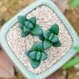 imballaggio bonsai Sconti Begonia succulents30 / pz palchi piccolo pacchetto di semi di pino in vaso in ufficio di semi di fiori micro paesaggio piante bonsai