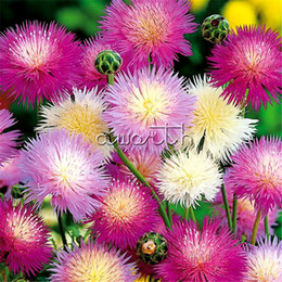 Wholesale Colorful Bedding - 200 Seeds Fragrant Cornflower Centaurea moschata Colorful Bachelor Button Flower Easy-growing Home Garden Landscape Flower Bed Plant