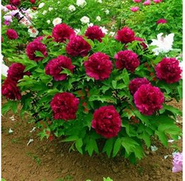Wholesale Paeonia Seeds - NEW WHOLESALE Flower Seeds Chinese Herbaceous Peony 100g lot Beautiful Flower Seeds For home Garden Paeonia suffruticosa