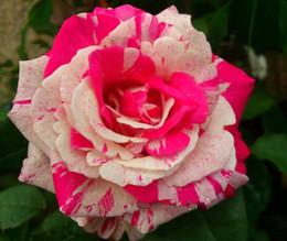 Semillas de invierno online-Semillas de rosas, fáciles de plantar estaciones de invierno semillas de plantas, semillas de flores, semillas de rosas, -100 piezas / bolsa