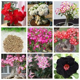 2019 adenio di sementi Semi di semi di Adenium Obesum Balcone Semi di fiori Desert Rose 9 Style Optional Colore 100% True Seed in-kind Shooting sconti adenio di sementi