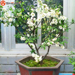 2019 albero di fiori di bonsai Vendita calda 10 PZ Bianco Begonia Semi di Fiori 100% Vero Malus Spectabilis Semi In Vaso Begonia Bonsai Semi di DIY Giardino di Casa albero di fiori di bonsai economici