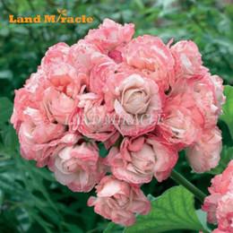 5 Semi, Raro Semi di Geranio Appleblossom Rosebud Pelargonium Semi di Fiori Perenni Hardy Pianta Bonsai Pianta In Vaso da