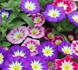 Wholesale Morning Glory Mix - 500Pcs a Set mixed random color morning glory Convolvulus tricolor Seed HOT SEED Home Garden Reasonable Choice Gift For Your Friend