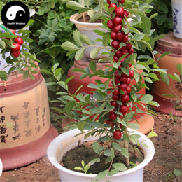 Wholesale Buy Chinese Dwarf Cherry Tree Seeds Plant Cerasus Humilis Grow Calcium Fruit Gai Guo Ouli