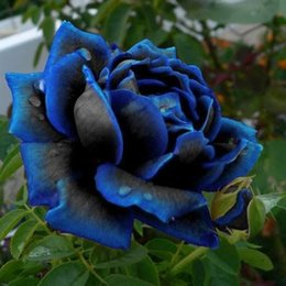 Wholesale Rose Cheap Wholesale - Midnight Supreme Rose Blue Color Flower Seeds Cheap Free Fast Shipping 200Pieces Per Package Usually 12 To 15 Work Days To Your Home