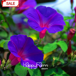 Wholesale Morning Glory Ipomoea - New Fresh Seeds Purple Ipomoea Nil Seeds Morning Glory seeds Flowering Plants Charming Chinese Flowers, 30 Pcs bag