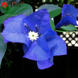 Wholesale Bougainvillea Flowers - A Package 100 Pieces Seeds Unique Blue Bougainvillea Spectabilis Seeds Perennial Bonsai Plant Flower Seeds