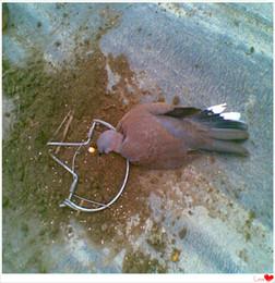 2019 pássaro pardal atacado Atacado-Alta Qualidade Diâmetro 180mm 7,0 polegada pombo armadilha à venda com baixo preço Frete Grátis