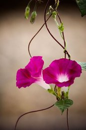 Wholesale glory flower - 20 Morning Glory Flower Seeds Easy to grow So colorful homes A013