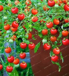 piantando pomodori di ciliegia Sconti 100 PZ semi di pomodoro Rare Mini rampicante semi di pomodoro,