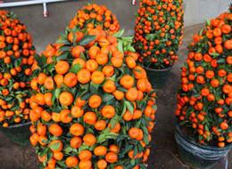 Semi di bonsai arancione online-50 pz / pacco Semi di Frutta Commestibile In Vaso Bonsai Arrampicata Semi di Albero Arancione Per La Casa Giardino Semi Arancioni