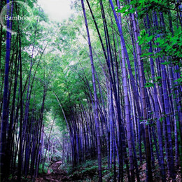 Wholesale Chinese Planting Pot - BELLFARM Heirloom Rare Purple Giant Bamboo, 30 Seeds, potted ornamental home garden plants 100% real Chinese heirloom plants TS243T