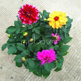 2019 flores impresionantes 100 Semillas de Colorido Pequeño Dahlia Flower Cutting Flower para DIY Home Garden Impresionante Perenne Floreciente Planta Floreciente paisaje rebajas flores impresionantes