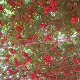 2019 tomatenbäume Eine Packung 100 Stücke Baum Tomatensamen Balkon Obst Samen Gemüse Topf Bonsai Pflanzensamen von Tomatenbaum rabatt tomatenbäume