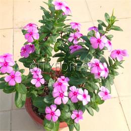 piante in vaso comuni Sconti Madagascar pervinca fiore rosa scuro 100 pezzi semi catharanthus roseus vinca per estate siccità tollerante vaso bonsai balcone fiore