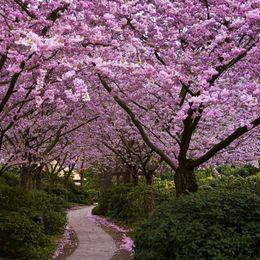caso di fiore di ciliegio Sconti Vendita calda 3 pz semi di sakura giapponese semi di fiori di ciliegio orientali piante bonsai per giardino di casa facile da coltivare
