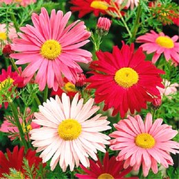 Wholesale Perennial Flower Plants - Pyrethrum Daisy Flower 50 Seeds Mix-color Chrysanthemum Easy-growing DIY Home Garden Bonsai Container Landscape Perennial Flowering Plant