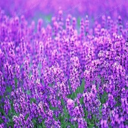 Wholesale French Seeds - 50 PCS   bag french provence lavender seeds very fragrant organic lavender seeds plant flower Flower seeds Home Garden Bonsai