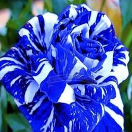 2019 plantes roses du désert 1 pack professionnel, 380 graines / pack, rayures bleues Rose Rare Rose Fleur Rose Bush Bleu Dragon Blanc