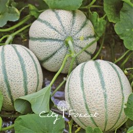 Miele di seme online-Sweet Honey Melon Mini Cantaloupe Fruit 10 Seeds Very Sweet Facile da coltivare DIY Heirloom Potted Fruit Planting per il giardino di casa