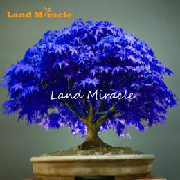 plantar semillas de peonía Rebajas 7 clases para elegir! 10 unids Rare blue maple Seons Bonsai Tree Plants Pot Suit para DIY jardín de su casa semillas de arce japonés