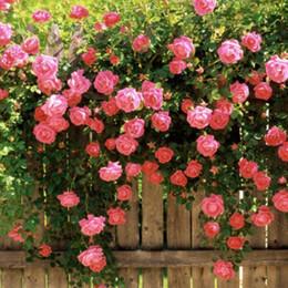 Canada 50 graines / paquet Rosa Chinensis graines de fleurs en pot facile à planter le paquet de semences en gros semis à l'intérieur quatre saisons Offre