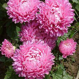 Wholesale Garden Cut Flowers - 200 Pink Chinse Aster Flower Seeds Easy to grow Cut Flower Variety DIY Home Garden Flower