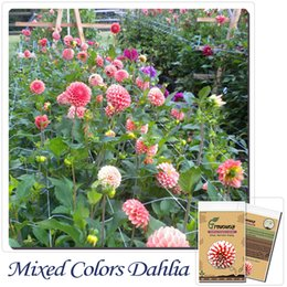 Wholesale Dahlia Flowers - Bonsai flower seeds 100 Seeds Dahlia Dinnerplate Dinner Plate Mixed Colors Garden Flowers