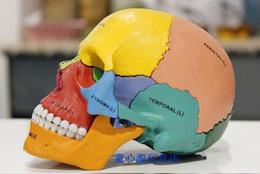Wholesale Medical Science Model - Wholesale- 4D MASTER Human skull colorful model medical science skeleton assembled model free shipping