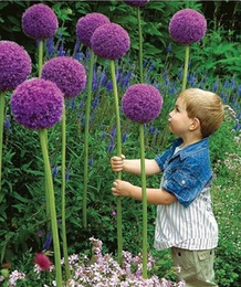 Wholesale rare beautiful flowers - 100 Seeds pack 3 Variety Color Allium Giganteum Beautiful Flower Seeds Garden Plant the budding rate 95% rare flower for kid