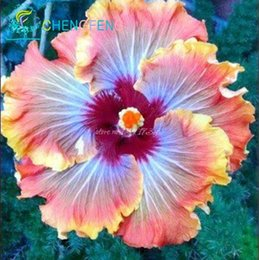 Wholesale giant flower seeds - 50pcs bag hibiscus flower seeds giant hibiscus seed bonsai flower seeds outdoor plant seeds for home garden easy to grow