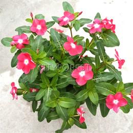 flores tolerantes à seca Desconto Rosa Vermelha Madagascar Pervinca Flor 100 pcs Sementes Catharanthus roseus Vinca para o verão Seca Tolerante