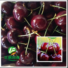 Wholesale Planting Cherry Seeds - 500 pieces lot Direct US Cherries cherry tree seeds cherry tree fruit seed Tree seeds plant pot home garden