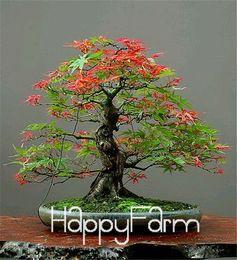 2019 bonsai di acero rosso giapponese Semi bonsai albero giapponese acero rosso a buon mercato, mini bonsai semi, 50 semi 11 tipi misti, molto bello albero coperto, # BR3KL bonsai di acero rosso giapponese economici