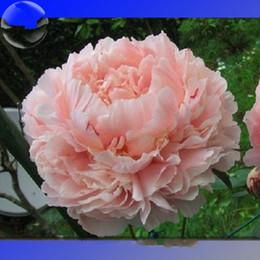 Wholesale Peonies Seeds - Heirloom Purely Pink Salmon Peony Tree, professional pack, 10 Seeds, big blooming double petals
