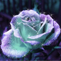 Wholesale Gardening Rose - Free Shipping Mint And Purple Rose Seeds *100 Pieces Seeds Per Package* New Arrival Ombre Charming Garden Plants