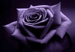 2020 bunte rosenblüten Preiswerte bunte Regenbogen-Rosen-Samen geben Verschiffen frei Rosen-Samen-Patio-Ausgangspflanzen-Garten-schöne Blumensamen günstig bunte rosenblüten