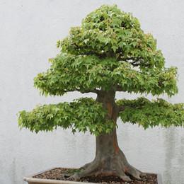 pc miniatura Sconti 30 PCS American Maple Seeds Bonsai Very Nice Green Maple Seeds Bonsai Tree Houseplant