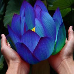 Wholesale Aquatic Plants Lotus - Flower seeds Blue Lotus Seeds Aquatic plants Water Plants Midnight Blue Lotus 10pcs AA